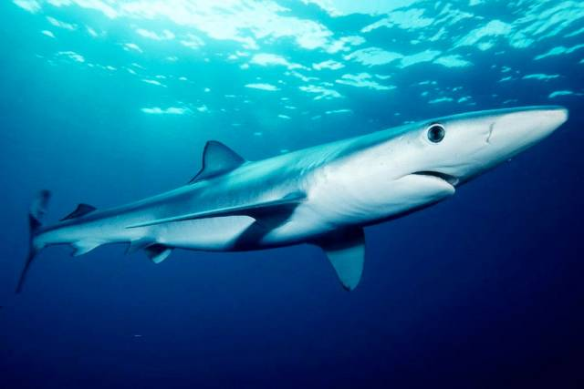 Blue sharks rarely bite humans - and the recent incident on a boat off Roches Point is being put down to an angling accident