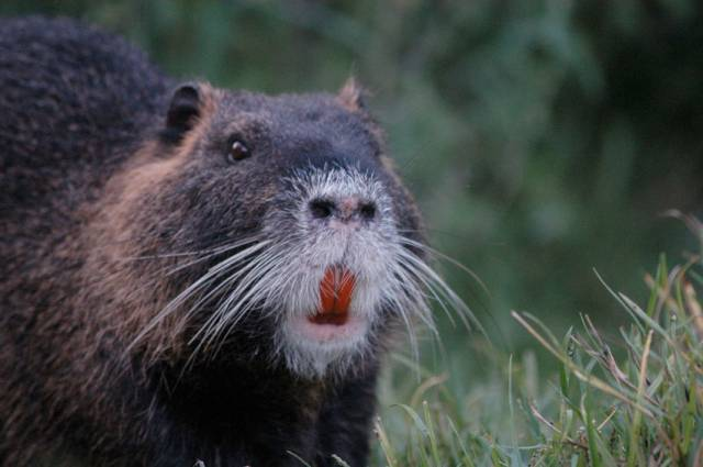 Coypu are known for their large size compared to other river rodents - and their distinctively coloured teeth