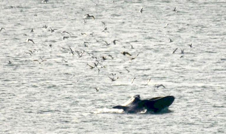 A Fin Whale off the Waterford coast - Environment Minister Eamon Ryan has increased funding to Environmental NGOs that includes the Irish Whale and Dolphin Group