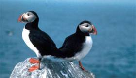 Puffins with their coloured bills and black-and-white coats – they almost looking particularly well-dressed for a formal evening out