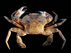 Velvet crab like this one will be protected in Irish waters by Minimum Conservation Reference Size (MCRS) regulations from 1 January next year