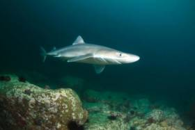 A dogfish caught on camera by the SmartBay observatory in Galway Bay