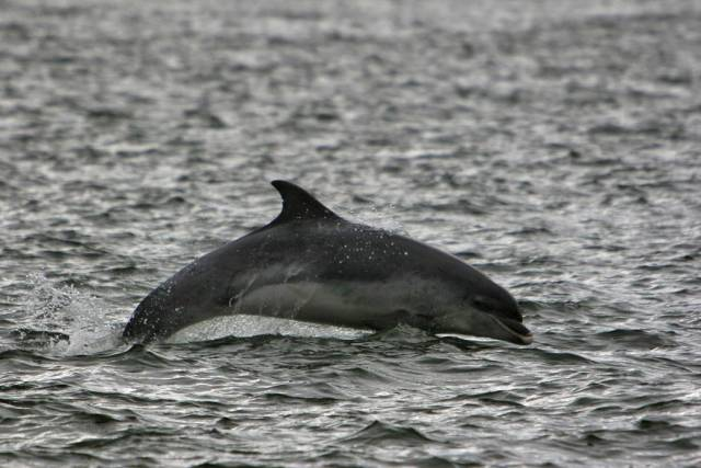 Bottlenose dolphins will be among the many cetacean species monitored by the new NI-led project