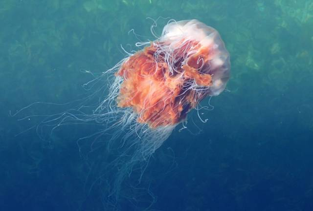Lion's Mane Jellyfish In Irish Waters Are Larger Than Usual