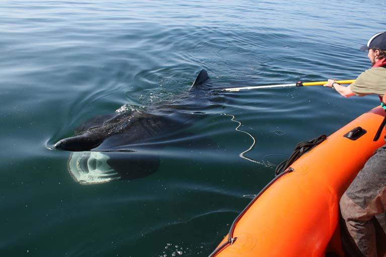 Darren Craig taking a mucus sample from a basking shark off West Kerry