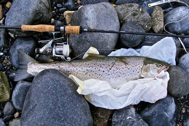 Sea trout caught by an angler in Galway Bay