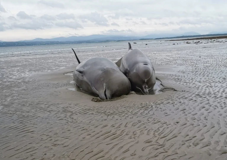 Two of the stranded bottlenose whales that died on Rossnowlagh beach last Wednesday