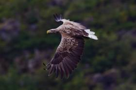 A white tailed sea eagle in Norway