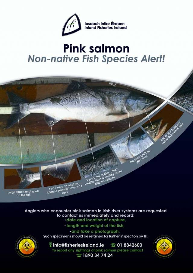Appeal For Anglers To Report Catches Of 'Mystery' Pink Salmon