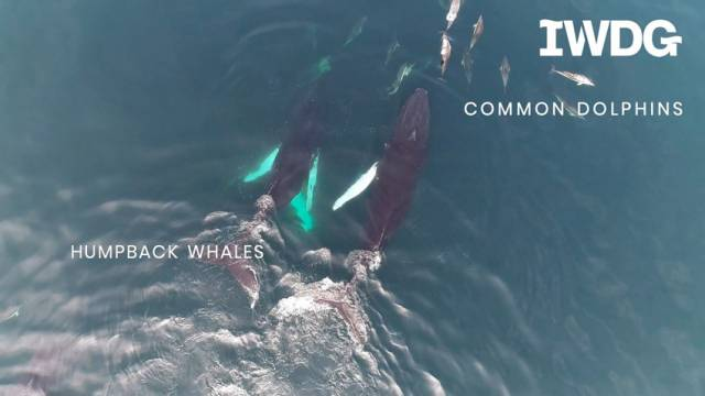 Humpback Whales Spotted 'Socialising' Off West Cork In Dramatic Drone Video