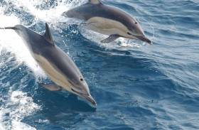 Dolphins are up for discussion at the IWDG's talks during National Biodiversity Week