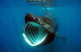 A feeding basking shark showing the characteristic white gape