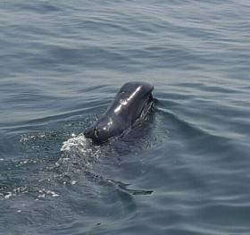 The bowhead whale sighted at the mouth of Carlingford Lough on Sunday 29 May