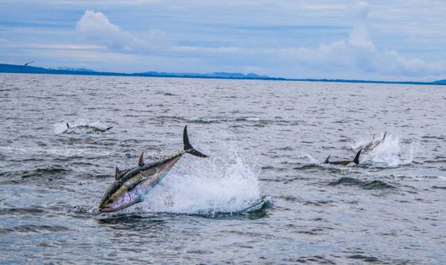 Bluefin tuna in Donegal Bay