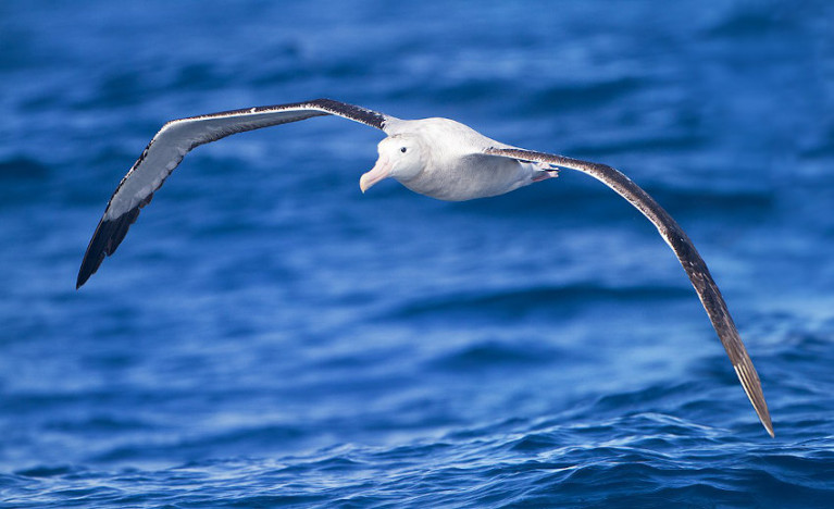 Albatrosses, like this wandering albatross seen off Tasmania, range over huge areas of ocean and regularly circle the globe