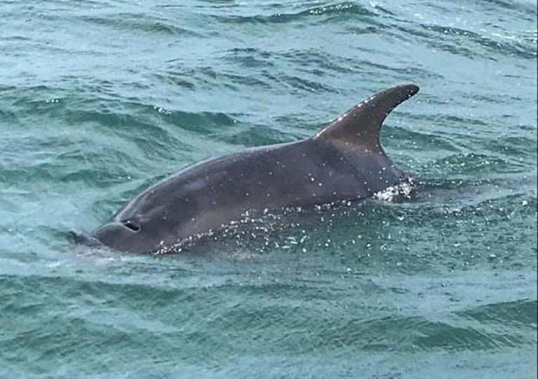 The solitary dolphin has been sighted at Greenore and Carlingford after taking up residence in recent weeks
