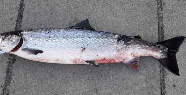 A Salmon taken from the River Corrib
