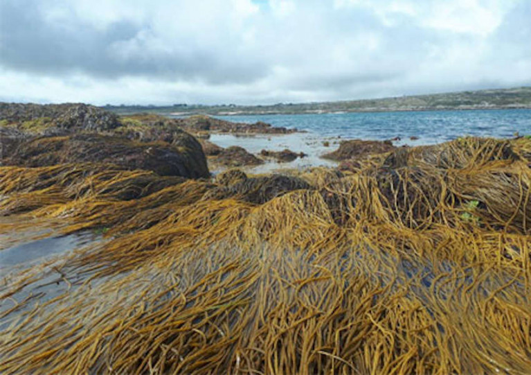 Research Contracts Awarded to Develop Ireland's Seaweed Resource