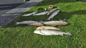 A few of what anglers reported as hundreds of fish killed in the pollution incident on the Annsborough River at the weekend