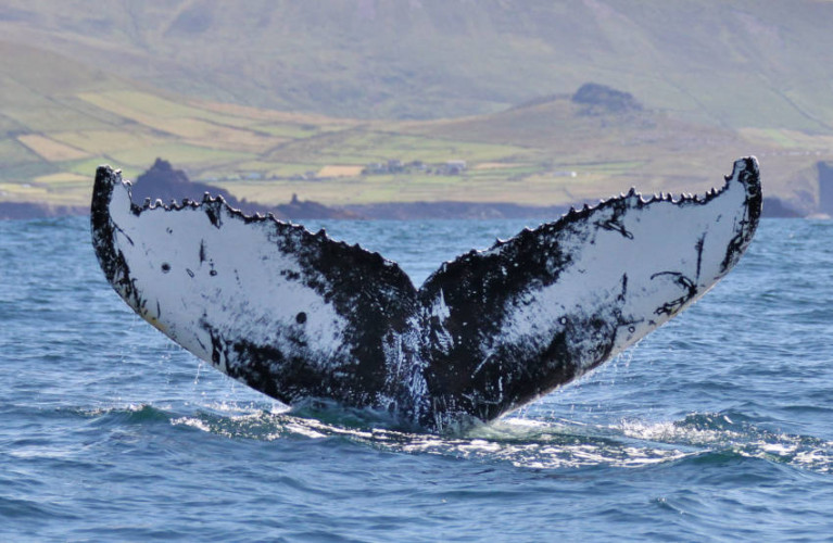The tail of a humpback whale, HBIRL55, spotted off Co Kerry earlier this year