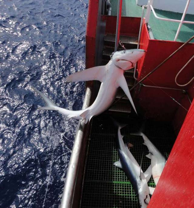 Blue Shark caught by Atlantic longline