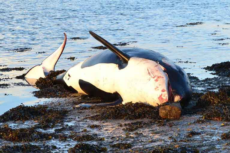 A dead Killer Whale on the Waterford shoreline