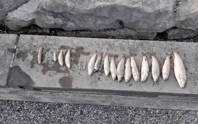 Fish mortalities on the Ballycorrigan River in Ballina, Co Tipperary last summer