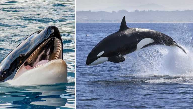 Mystery of Orca Whale Attacks on Boats Continues off Spanish Coast
