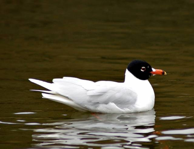 A Mediterranean gull much like this one has been spotted from Belfast's Window on Wildlife
