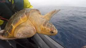 Una the loggerhead was one of two turtles released from the LÉ Róisín en route to the Mediterranean this week