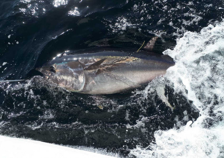 A tagged bluefin tuna in Donegal Bay last year
