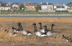 Ireland's annual winter visitors, light-bellied brent geese pictured on Bull Island