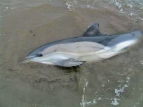 One of the dolphins that stranded in Dungarvan on Friday 13 January