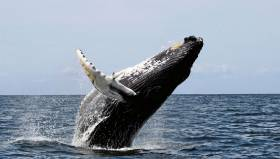 Humpback whales like this one off the US coast are regular visitors to Norway's Arctic fjords