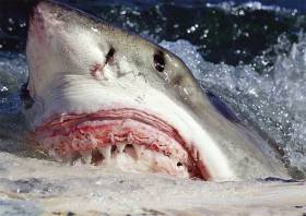 A great white shark scavenging in South Africa