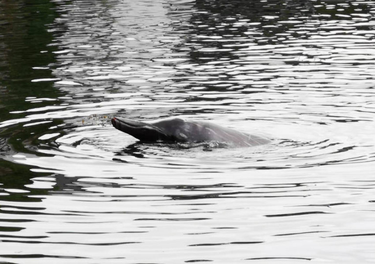 The male Sowerby's beaked whale seen in Wicklow Harbour on Saturday 4 July