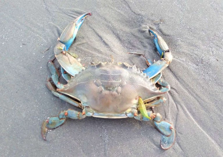 The blue crab found on Dollymount Strand on 15 February