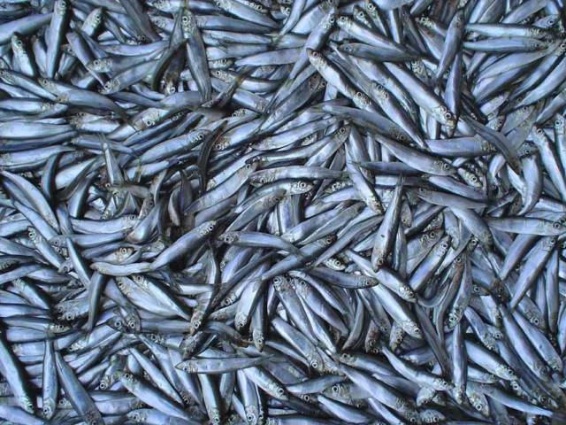 Sprats are the target fish for the seasonal pair trawling fishery in Irish waters