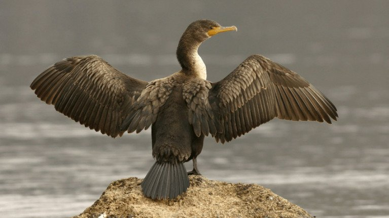 Unlike other salmon predators, cormorants are a protected species under Article 4 of the Wildlife (Northern Ireland) Order 1985