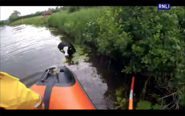 Carrybridge Lifeboat Rescues Cow In Distress