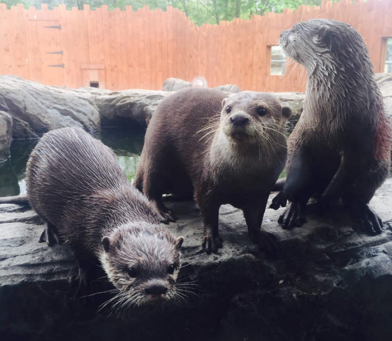 Small-clawed Asian otters at the Exploris aquarium in Portaferry