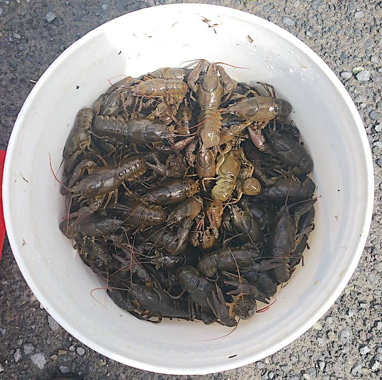 Three Men Summonsed for Illegal Hunting & Possession of Protected White Clawed Crayfish
