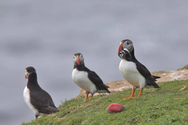 Puffins on Little Saltee off Co Wexford