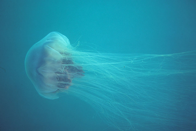 The lion's mane jellyfish is also known as the giant jellyfish or hair jelly