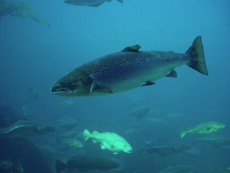File image of an Atlantic salmon