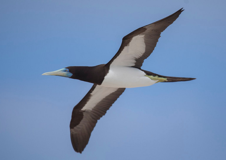 An adult male brown booby at flight; a bird like this one landed in Greystones earlier this week