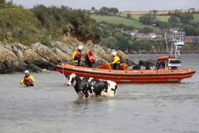 Kinsale RNLI's lifeboat crew return Ghost, the year-old Holstein Friesian, to safety