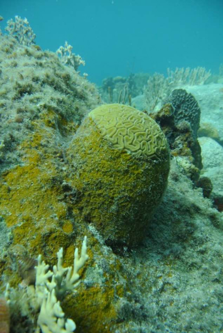 Alga gobbling up a live coral in Caribbean reefs