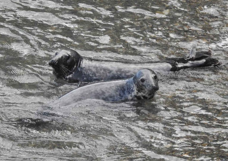 File image of seals which are a common sight around Irish shores