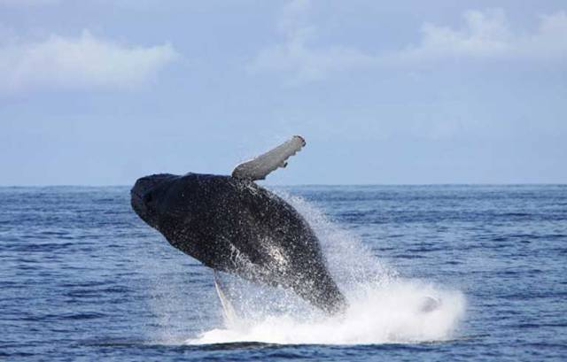 A Humpback Whale breaching in Irish waters